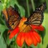 Butterflies Puzzle – 1