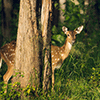 Deer in the Forest Jigsaw Puzzle