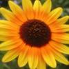 Jigsaw Sunflowers