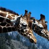 Wild Giraffe Jigsaw