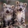 Baby Cheetahs Twins