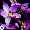 Beautiful Orchids Jigsaw