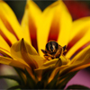 Bee on a Gazania Jigsaw