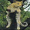 Big cat slide puzzle