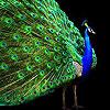 Big peacock puzzle