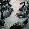 Black swans family slide puzzle