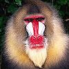 Blowzy monkey puzzle