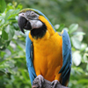 Blue and Gold Macaw Slider Puzzle