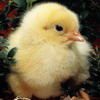 Chicken Photo Jigsaw Puzzle