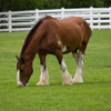 Clydesdale Horse Slider Puzzle