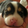 Cute puzzle: Puppy