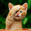 Cute shy cat slide puzzle