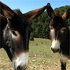 Donkeys From Teruel Aragon