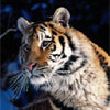 FTA – Tigers
