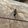 Jigsaw: Giant Ant