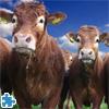 Gorgeous Cows Jigsaw