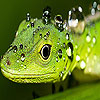 Green lizard puzzle