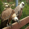 Griffon Vulture Jigsaw Puzzle