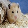 Hamster Really Cute