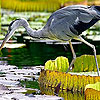 Hungry heron puzzle