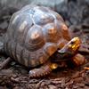 Jigsaw: Angry Turtle
