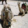 Jigsaw: Camels