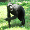 Jigsaw: Chimpanzee