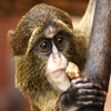 Jigsaw: De Brazza Monkey