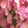 Jigsaw: Dragonfly