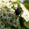 Jigsaw: Flower Beetle
