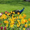 Jigsaw: Flowers And Peacock
