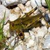 Jigsaw: Grasshopper