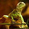Jigsaw: Green Lizard