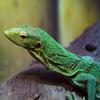 Jigsaw: Green Reptile