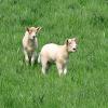 Jigsaw: Lambs