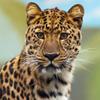 Jigsaw: Leopard