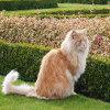 Jigsaw: Lioncat