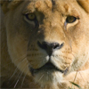 Jigsaw: Lioness