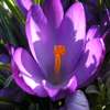 Jigsaw Nature: Crocus