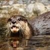 Jigsaw: Otter