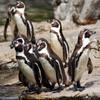 Jigsaw Penguins