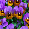 Jigsaw: Purple Pansies
