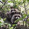 Jigsaw: Raccoons