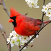 Jigsaw Red Bird