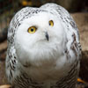 Jigsaw: Snowy Owl