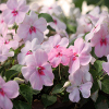 Jigsaw: Soft Pink Flowers