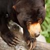 Jigsaw: Sun Bear