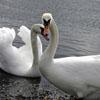 Jigsaw Swans