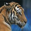 Jigsaw: Tiger