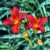 Jigsaw: Twin Tiger Lilies